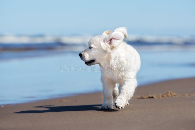 Gelukkig golden retrieverpuppy op een strand royalty-vrije stock afbeelding