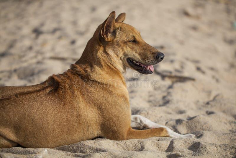 Gelukkig hondpuppy zoals liggend op het strand stock afbeeldingen