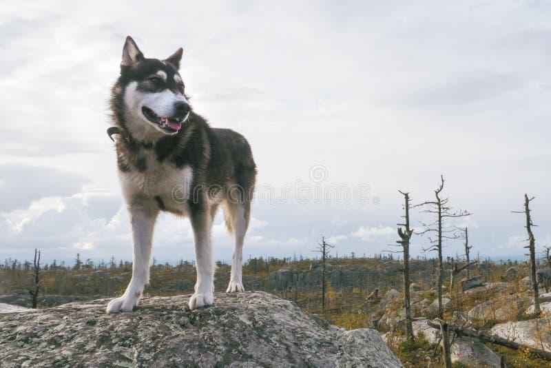 Gelukkig Husky Dog Standing op een Bergpiek bij Trekkingsweg royalty-vrije stock afbeelding