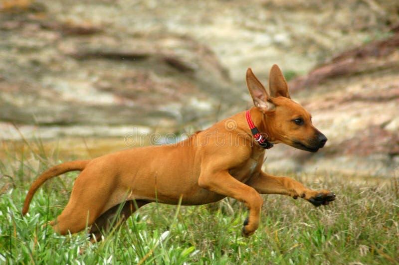 Gelukkig lopend puppy royalty-vrije stock foto