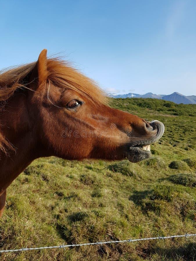 Gelukkig paard in IJsland royalty-vrije stock fotografie