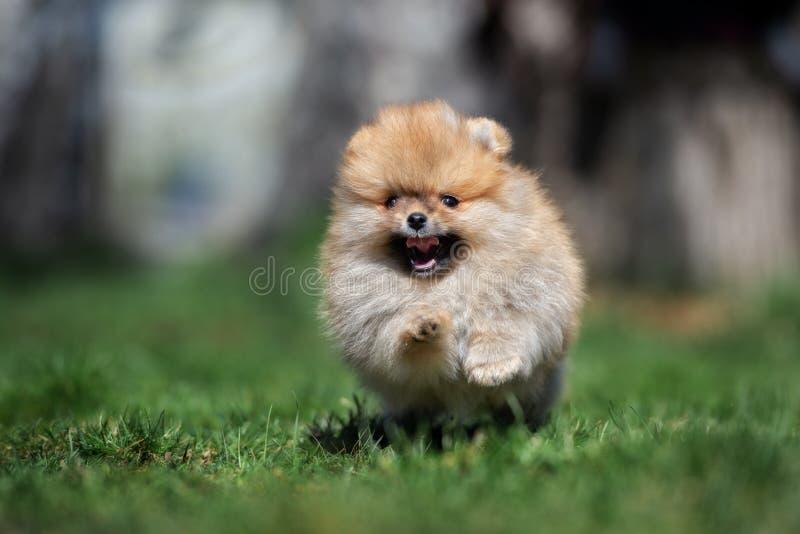 Gelukkig pomeranian spitz puppy die in openlucht lopen stock foto's