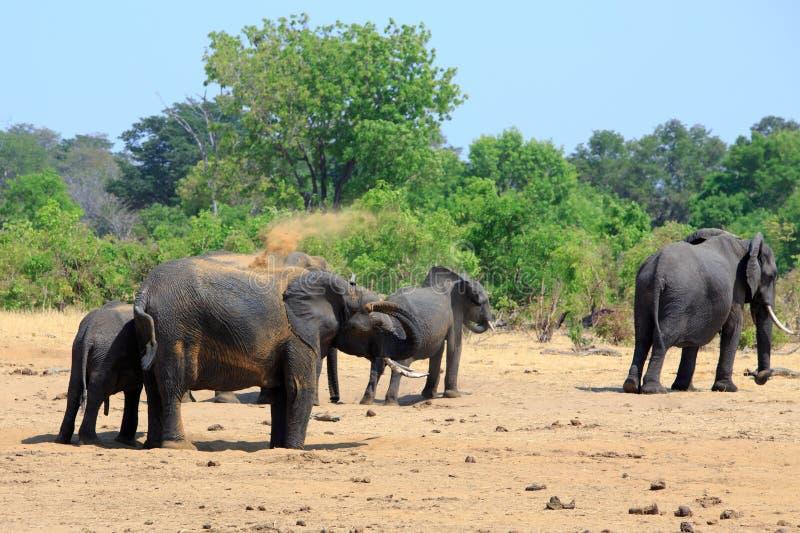 Gelukkige Afrikaanse Olifanten bezig het bestrooien van om het koele, Nationale Park van Hwange te houden royalty-vrije stock foto's