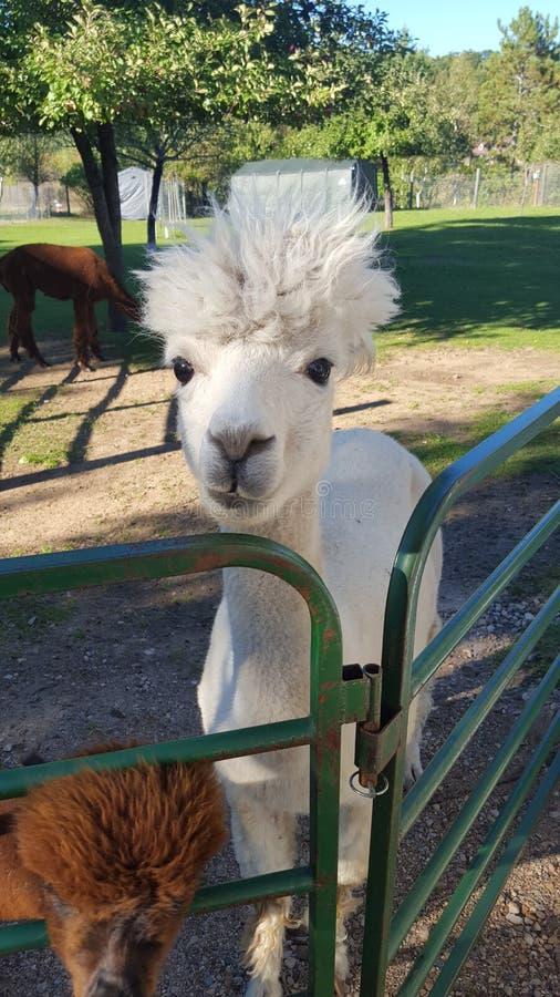 Gelukkige Alpaca stock afbeelding