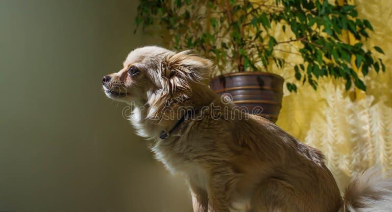 Gelukkige Chihuahua honds, vrolijk, binnenlands, geluk, het ontschorsen, carnivoor, besnoeiing, gelukkig royalty-vrije stock fotografie