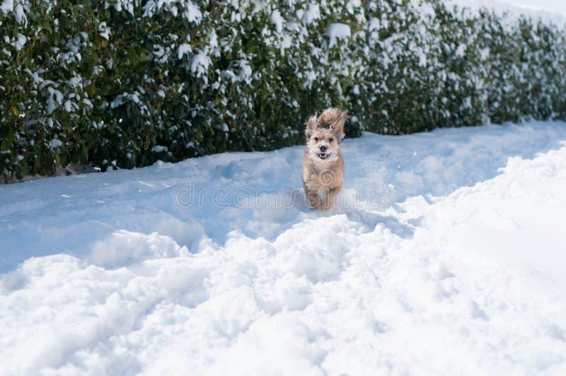 Gelukkige die hond in de sneeuw in werking wordt gesteld royalty-vrije stock afbeelding