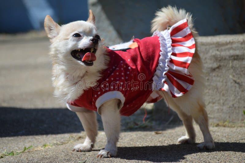 Gelukkige Feestelijke Chihuahua stock foto's