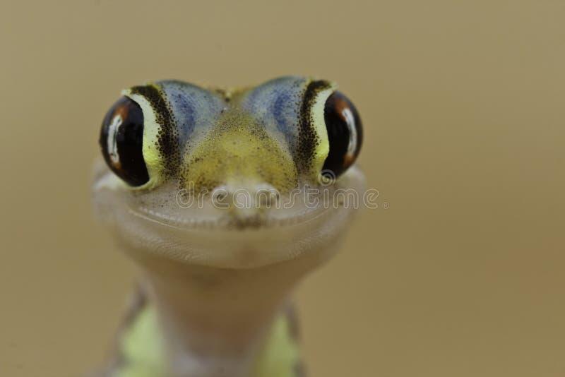 Gelukkige gekko stock foto