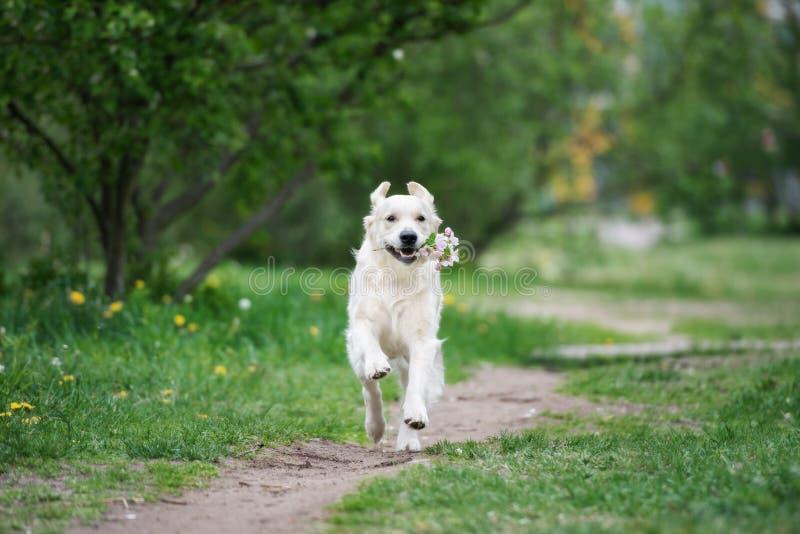 Gelukkige golden retrieverhond die met een bloeiende tak lopen royalty-vrije stock foto's