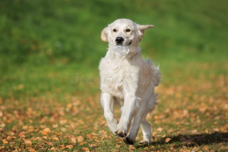 Gelukkige golden retrieverhond die in openlucht in de herfst lopen royalty-vrije stock foto