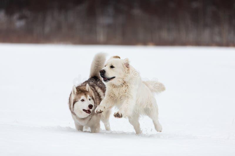 Gelukkige golden retrieverhond en het Siberische schor spelen samen op het gebied in de winter royalty-vrije stock foto