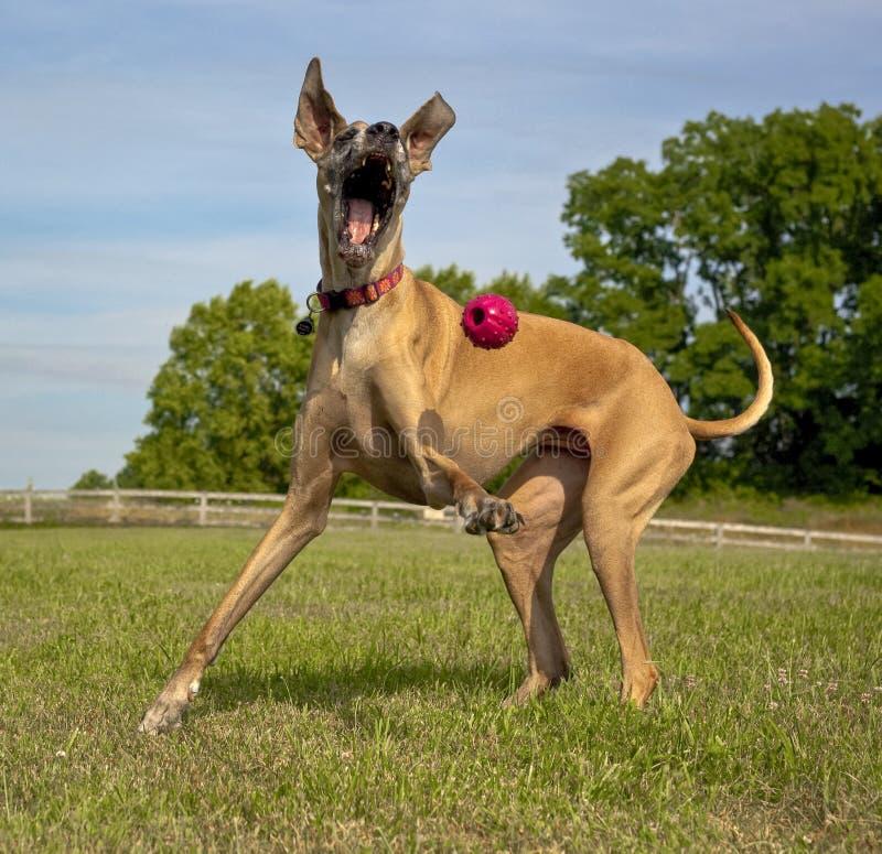 Gelukkige het Spelen van de Hond Bal royalty-vrije stock afbeeldingen