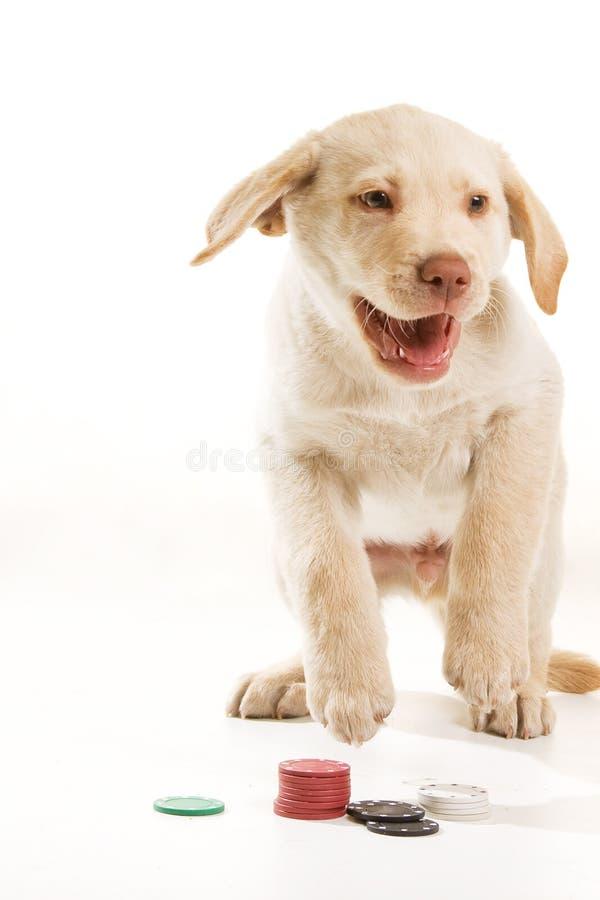Gelukkige het spelen van de Hond pook stock foto