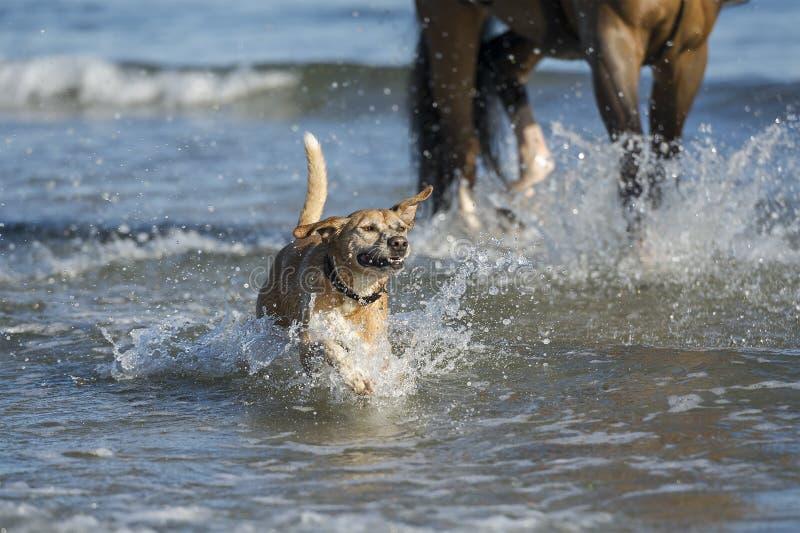 Gelukkige hond bij het strand royalty-vrije stock foto's