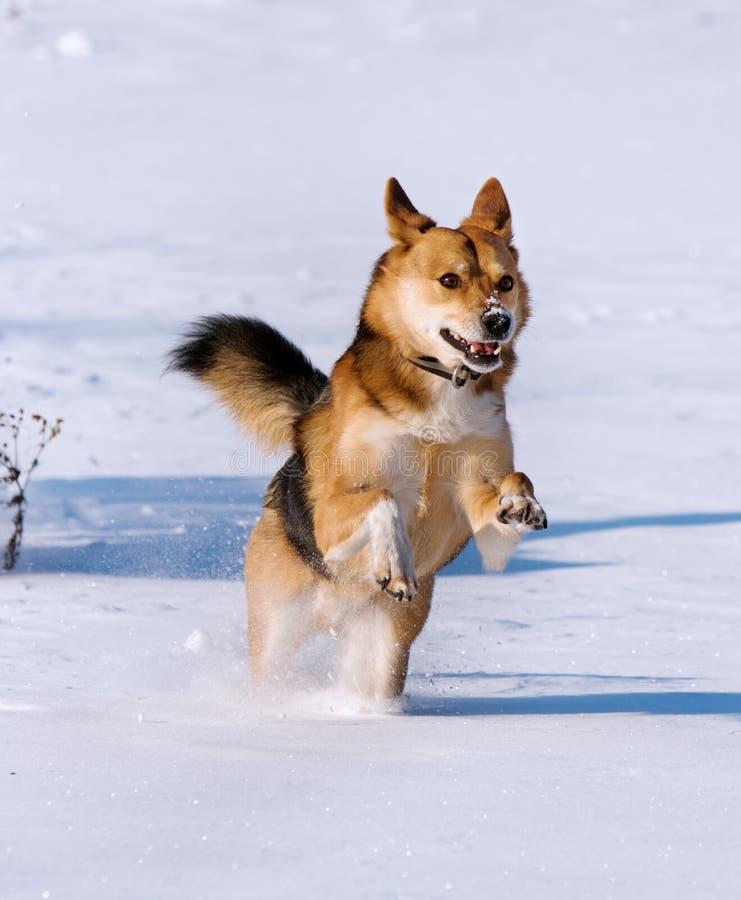 Gelukkige hond die in de sneeuw loopt stock afbeeldingen
