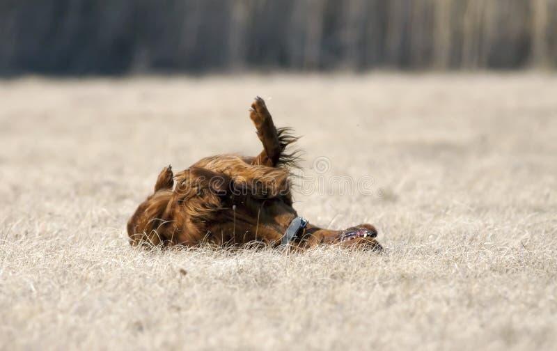 Gelukkige hond die int. rollen het gras royalty-vrije stock fotografie