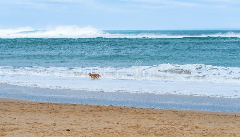 Gelukkige hond die langs een zandige strand mooie turkooise overzees lopen stock afbeeldingen
