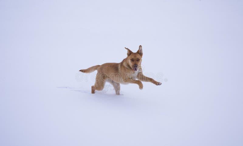 Gelukkige hond die op de witte sneeuw lopen royalty-vrije stock afbeeldingen