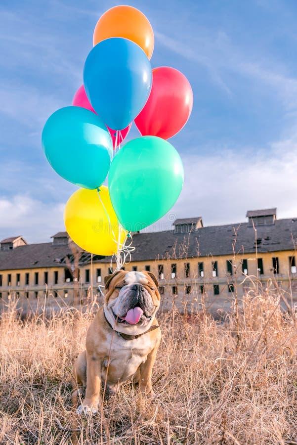 Gelukkige hond met ballons stock fotografie