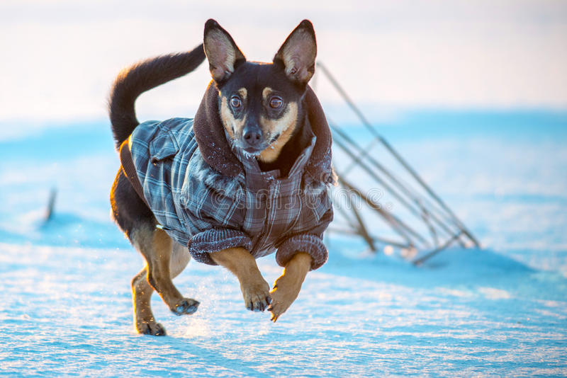 Gelukkige hond met kleren royalty-vrije stock fotografie