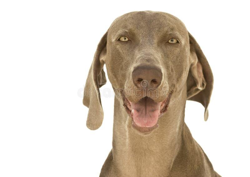 Gelukkige hond Weimaraner royalty-vrije stock afbeeldingen