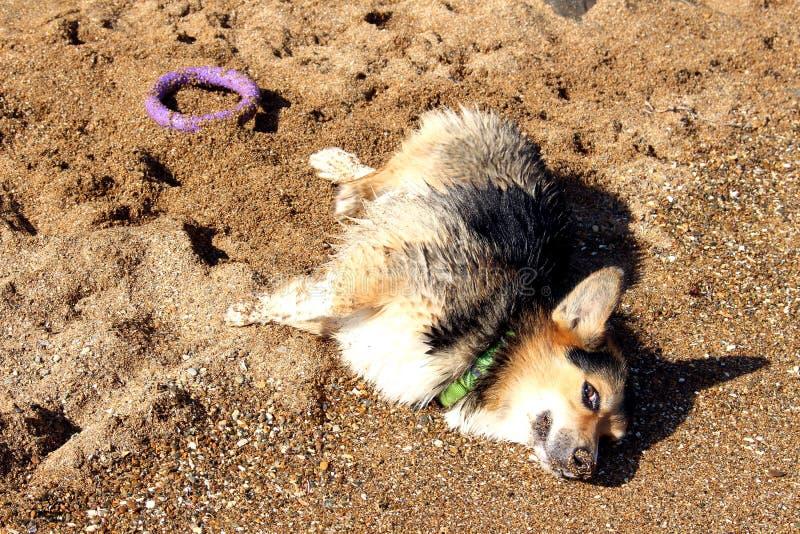 Gelukkige hond Welse Corgi die Pembroke op het strand zonnebaden stock fotografie