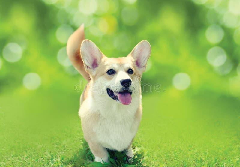 Gelukkige hond Welse Corgi Pembroke op het gras in zonnige de zomerdag royalty-vrije stock afbeelding