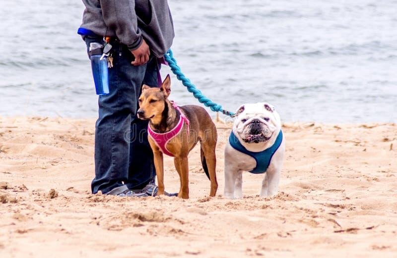 Gelukkige honden die hun persoon lopen stock afbeeldingen