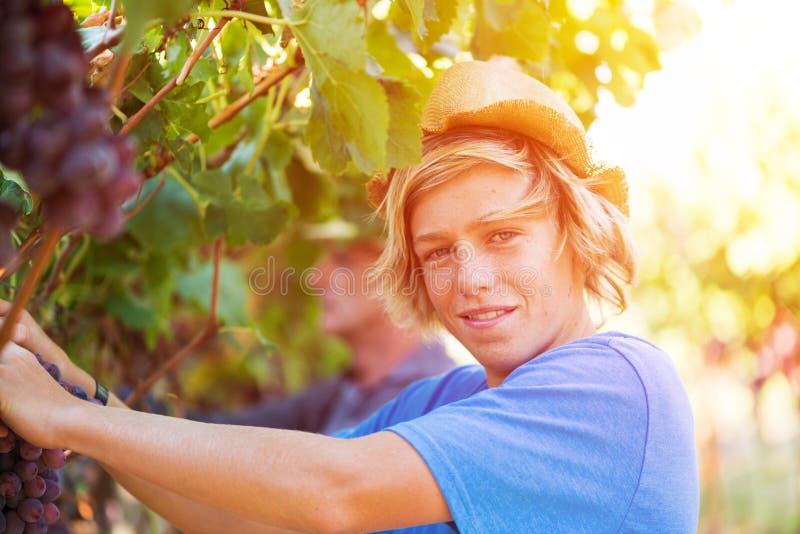 Gelukkige jonge werknemer het plukken druiven in wijngaard royalty-vrije stock fotografie