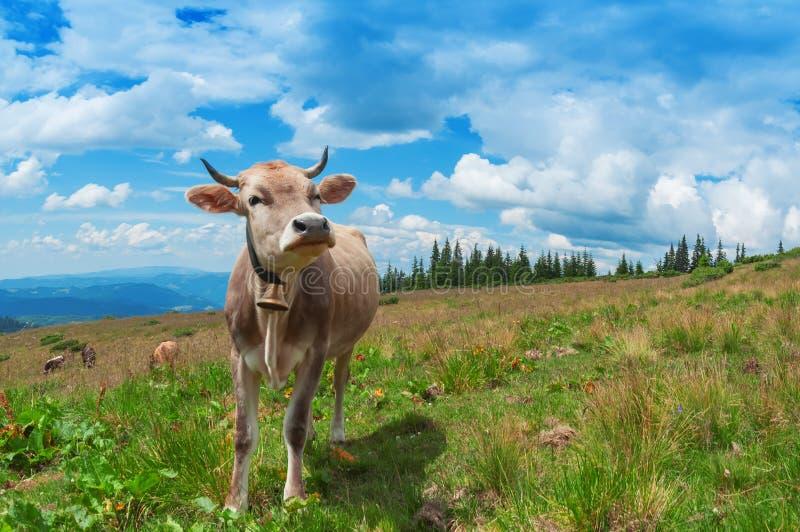 Gelukkige koe op het weiland stock afbeeldingen
