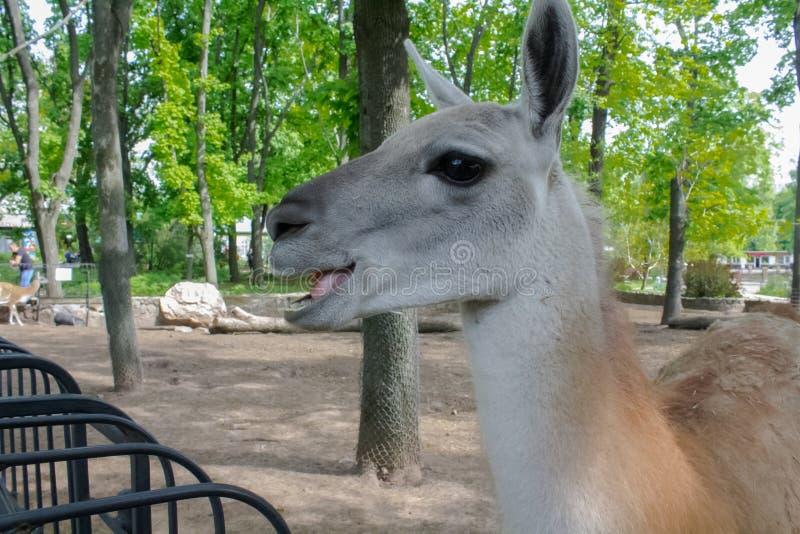 Gelukkige Lama stock foto