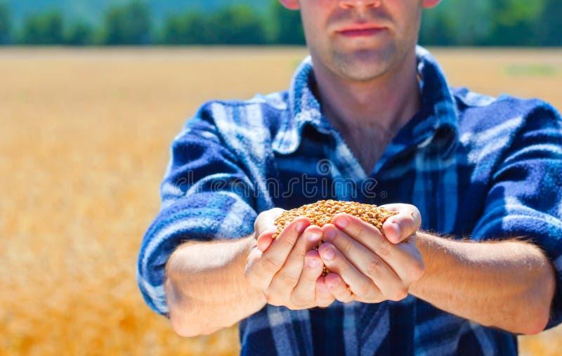 Gelukkige landbouwer die rijpe tarwekorrels houdt royalty-vrije stock foto's