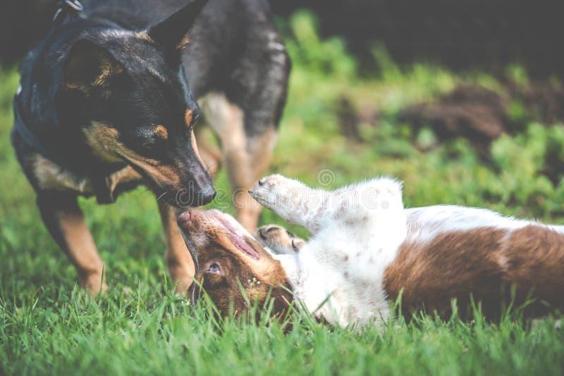 Gelukkige leuke hondenvrienden die samen spelen stock foto