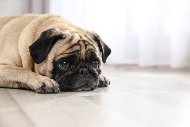 Gelukkige leuke pug hond op vloer binnen stock foto's