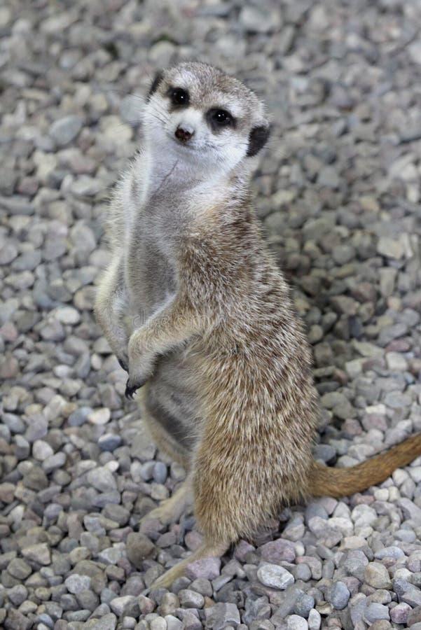 Gelukkige Meerkat stock afbeelding