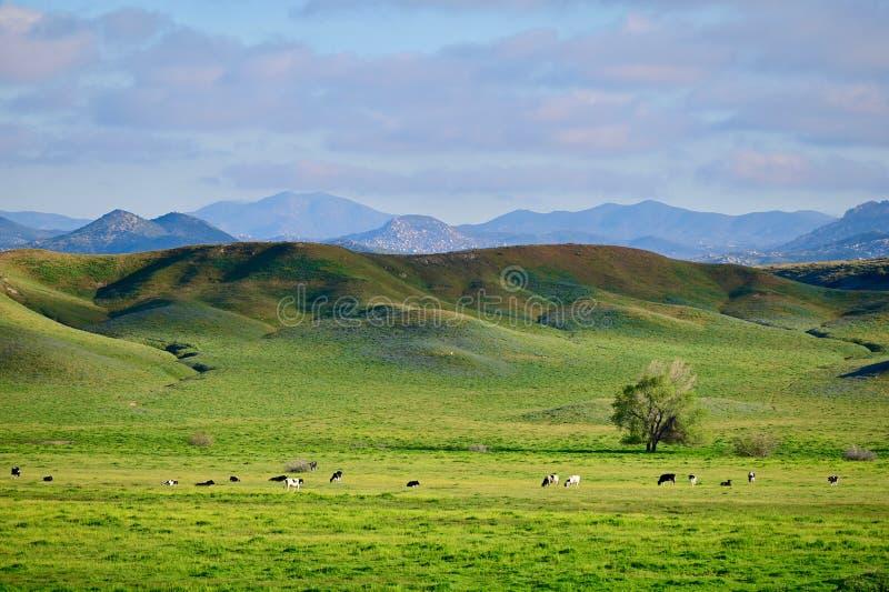 Gelukkige met gras gevoederde koeien stock fotografie
