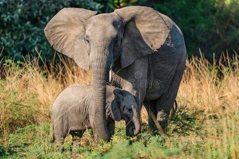 Gelukkige olifantskoe met jongen - Lagere Zambesi NP Zambia royalty-vrije stock afbeelding