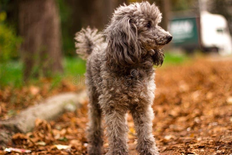 Gelukkige puppyzitting en het bekijken de camera tijdens gang in het park royalty-vrije stock afbeelding