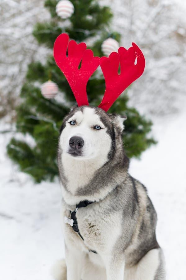 Gelukkige Siberische schor hond die rendiergeweitakken in openlucht op de dag van de winterkerstmis dragen royalty-vrije stock afbeelding