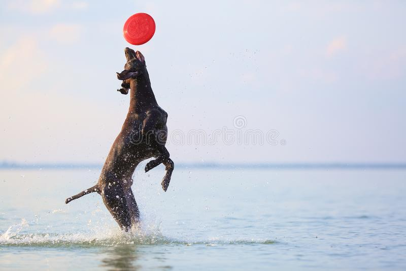 Gelukkige, speelse bruine hond Duitse kortharige wijzer Het springen op het water die plonsen en golven maken Bezinning van het s stock foto's