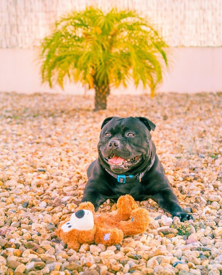 Gelukkige staffordshire bull terrier hond met een zachte stuk speelgoed teddybeer royalty-vrije stock foto