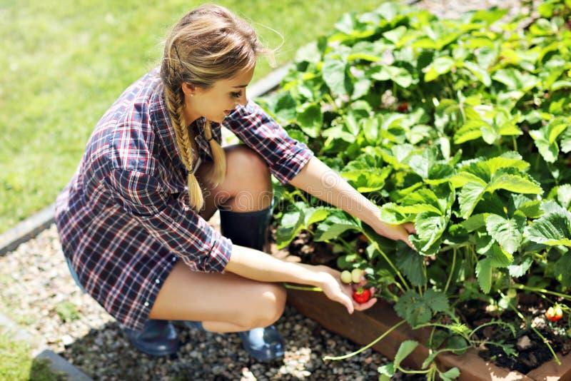 Gelukkige vrouw die verse aardbeien in de tuin verzamelen royalty-vrije stock afbeeldingen