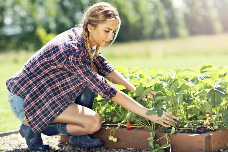 Gelukkige vrouw die verse aardbeien in de tuin verzamelen stock afbeeldingen