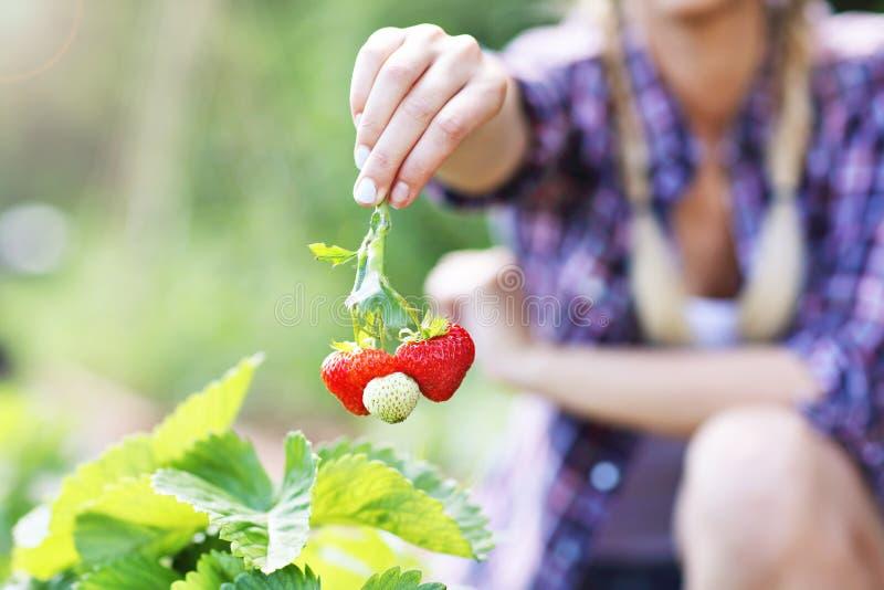Gelukkige vrouw die verse aardbeien in de tuin verzamelen stock foto