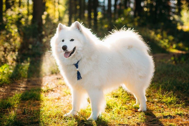 Gelukkige Witte Samoyed-Hond Openlucht in Park royalty-vrije stock foto