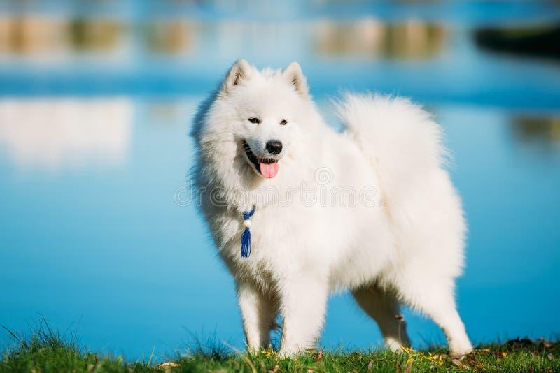 Gelukkige Witte Samoyed-Hond Openlucht in park op achtergrond van blauwe wa stock afbeeldingen