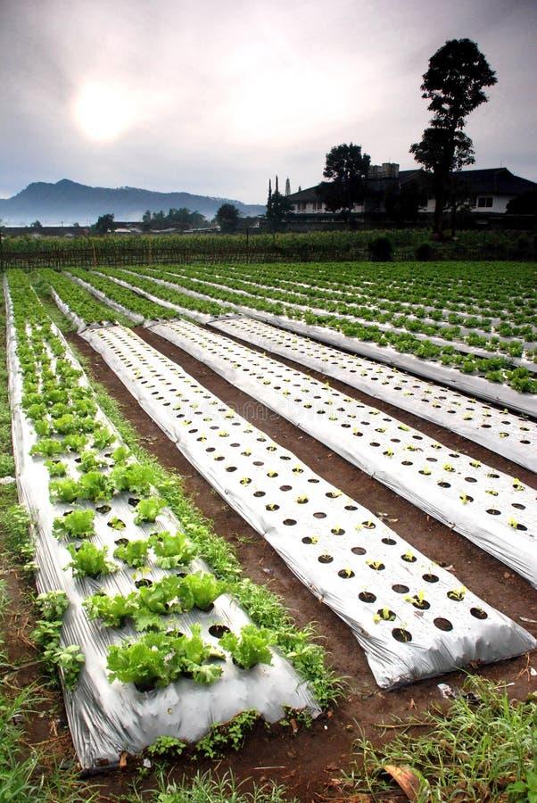 Gemüse-Bauernhof lizenzfreie stockbilder
