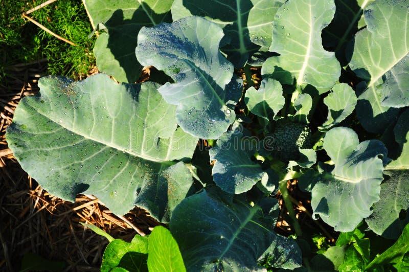 Gemüse im Garten lizenzfreie stockfotografie