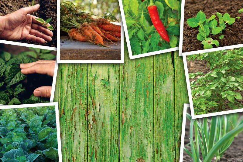 Gemüseanbau und Wachstum, Fotocollage lizenzfreies stockbild