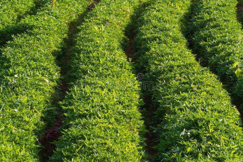 Gemüsebauernhof Dieses ist, wie Süßkartoffeln wachsen lizenzfreie stockfotografie